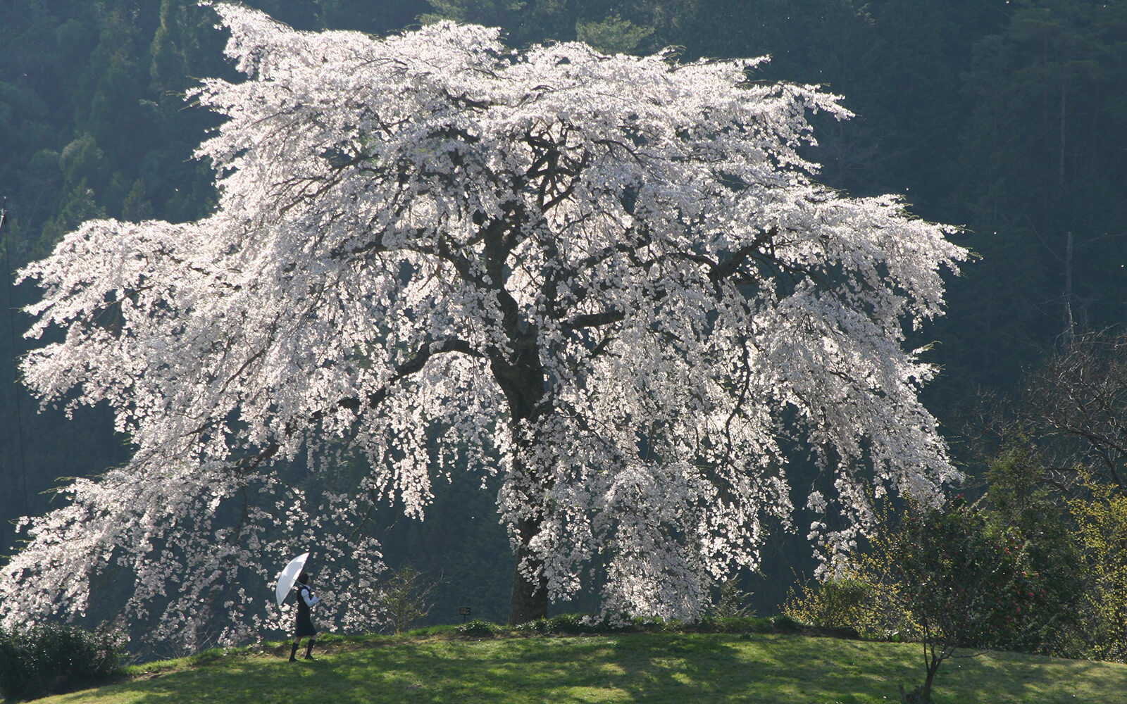 桜(2019年4月~6月)